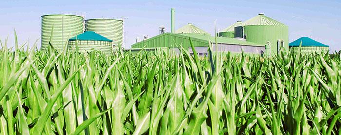 biomass growns in filed beside farm